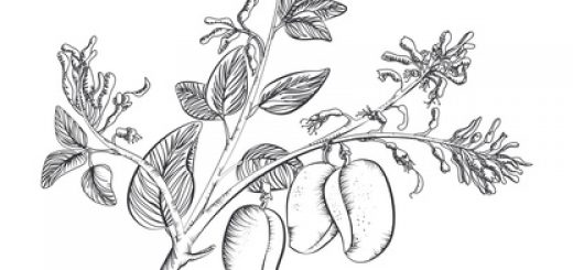 Griffonia Simplicifolia (Afrikanische Schwarzbohne enhält 5-HTP)