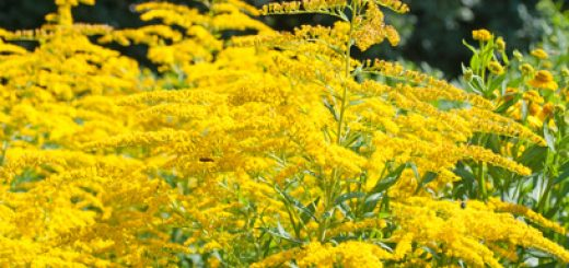 Goldrute in der Natur und als traditionelle Heilpflanze